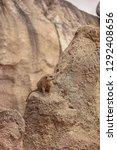 suricata suricatta meerkat...   Shutterstock . vector #1292408656
