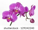 Phalaenopsis Orchid In Drops O...