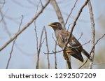 songbird morning pose | Shutterstock . vector #1292507209