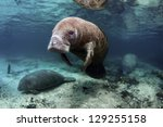 West India Manatees Of The...