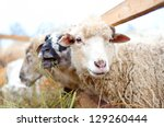 byre sheep eating grass and hay ... | Shutterstock . vector #129260444