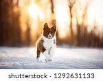 Stock photo border collie puppy in action puppy is running through the snow 1292631133