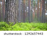 scots pine  pinus sylvestris ... | Shutterstock . vector #1292657443