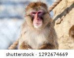 close up of monkey  hokkaido ... | Shutterstock . vector #1292674669