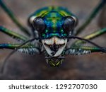 spotted tiger beetle...   Shutterstock . vector #1292707030