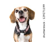 Stock photo a cute beagle looking at the camera 129271199