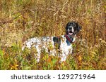 English Pointer Hunting