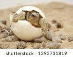 Stock photo cute portrait of baby tortoise hatching birth of new life closeup of a small newborn tortoise 1292731819