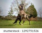 two stallion horses fighting in ...   Shutterstock . vector #1292751526