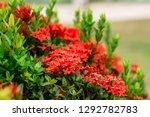 beautiful spike flower blooming ...   Shutterstock . vector #1292782783
