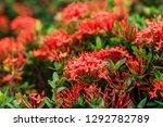 beautiful spike flower blooming ...   Shutterstock . vector #1292782789