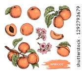 Vector Apricots Hand Drawn...