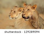 Portraits Of Two Lions ...