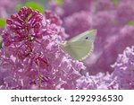 close up of white butterfly... | Shutterstock . vector #1292936530