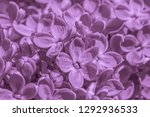 close up of lilac blossoming at ... | Shutterstock . vector #1292936533