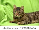 striped cat on a green... | Shutterstock . vector #1293005686