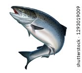 Stock photo atlantic salmon or pink salmon on a white background red salmon fishing on the river northern 1293019009