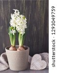 white hyacinth flowers in grey...   Shutterstock . vector #1293049759