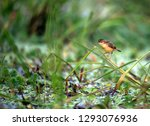 bird named cisticola juncidis...   Shutterstock . vector #1293076936