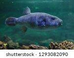 stellate puffer  arothron...   Shutterstock . vector #1293082090