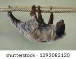 linnaeus's two toed sloth ... | Shutterstock . vector #1293082120
