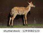nyala  tragelaphus angasii ....   Shutterstock . vector #1293082123