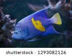 yellowband angelfish ...   Shutterstock . vector #1293082126