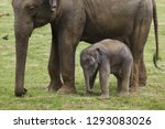 one month old indian elephant ...   Shutterstock . vector #1293083026