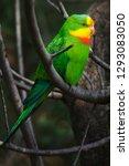 superb parrot  polytelis...   Shutterstock . vector #1293083050