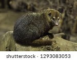 common kusimanse  crossarchus...   Shutterstock . vector #1293083053
