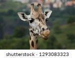 rothschild's giraffe  giraffa... | Shutterstock . vector #1293083323