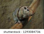 Common gundi (Ctenodactylus gundi). Wild life animal.