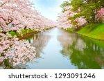 full bloom sakura   cherry... | Shutterstock . vector #1293091246