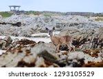 California Mule Deer ...