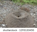 Fire Ants Crawling On Ant Hill...