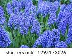 hyacinth purple in garden....   Shutterstock . vector #1293173026