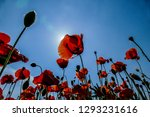 poppies on background of blue...   Shutterstock . vector #1293231616