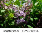 lilac flowers. green branch... | Shutterstock . vector #1293240616