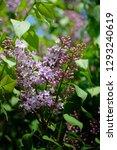 lilac flowers. green branch... | Shutterstock . vector #1293240619