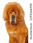 portrait of a tibetan mastiff... | Shutterstock . vector #1293266950