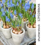 Potted Muscari Or Grape...