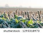 Stubble Field With Frozen Corn...