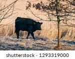 black cow walking along a wheat ... | Shutterstock . vector #1293319000