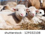 young lambs smiling and looking ... | Shutterstock . vector #129332108