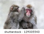 a family of japanese macaques. | Shutterstock . vector #129335543