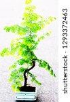 a bonsai plant | Shutterstock . vector #1293372463