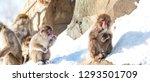 little monkey sitting on the... | Shutterstock . vector #1293501709