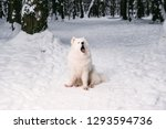 furry dog albino yawns in the... | Shutterstock . vector #1293594736