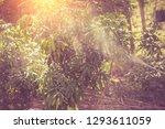 gardeners spray insecticides... | Shutterstock . vector #1293611059