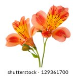 Stock photo alstroemeria flowers isolated on white background 129361700